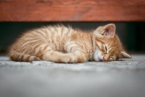 A kitten sleeping while you are planning your Texas relocation.