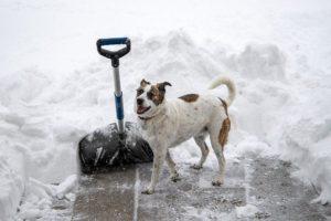 A shovel in a snow, next to a dog.