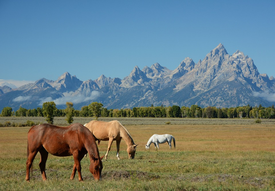 Horses free in the wild, which will be a common sight if you moving to the Wyoming countryside.