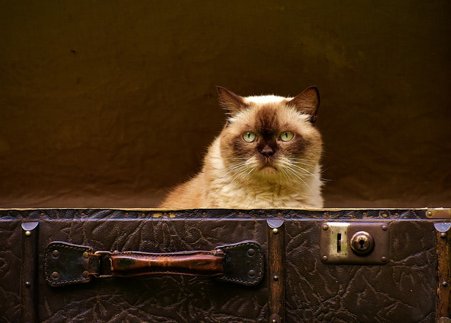 A cat ready for travel can help you cope with moving overseas alone.